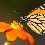 mariposas-monarca-800x375